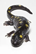 magic salamander